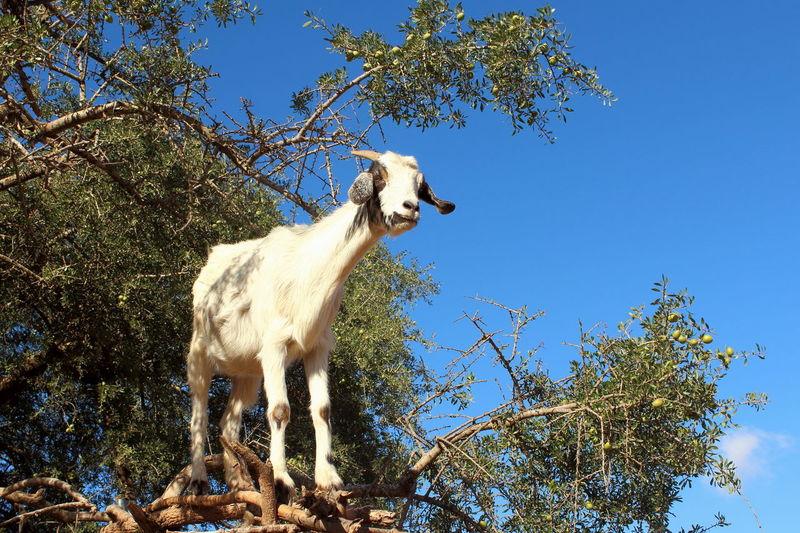 Animal Themes Argan Nuts Argan Trees Branch Climbing Trees Eat Goat Looking For Food Morocco Native Nature One Animal Semi Dessert Tamri Goat Tree