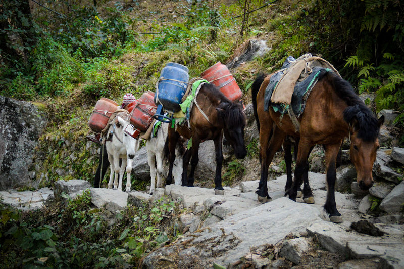 Horses Carrying Gas Tanks Hourses In A Row Mountain Horses Carrying Supplies Animal Themes Domestic Animals Horse Mammal Livestock Working Animal Hoofed Mammal Outdoors Day Nature No People Grass Togetherness Pokhara, Nepal Travel Photography Life In The Mountains Mountain Culture And Tradition Lifestyles Working