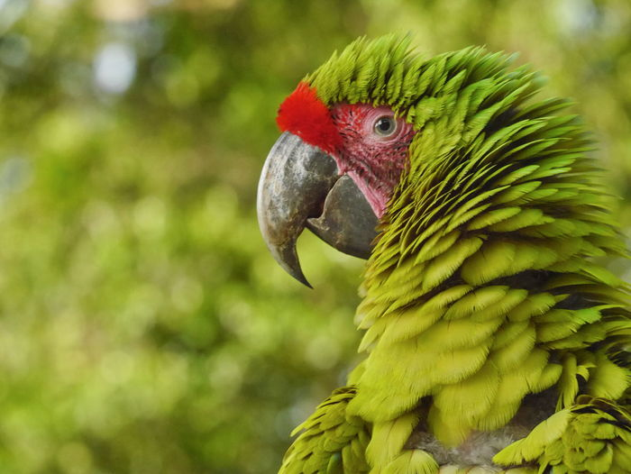 Animal Themes Beak Bird Close-up Colorful Costa Rica Day Great Green Macaw Jungle Nature No People One Animal Outdoors Parrot Parrots Portrait Photography