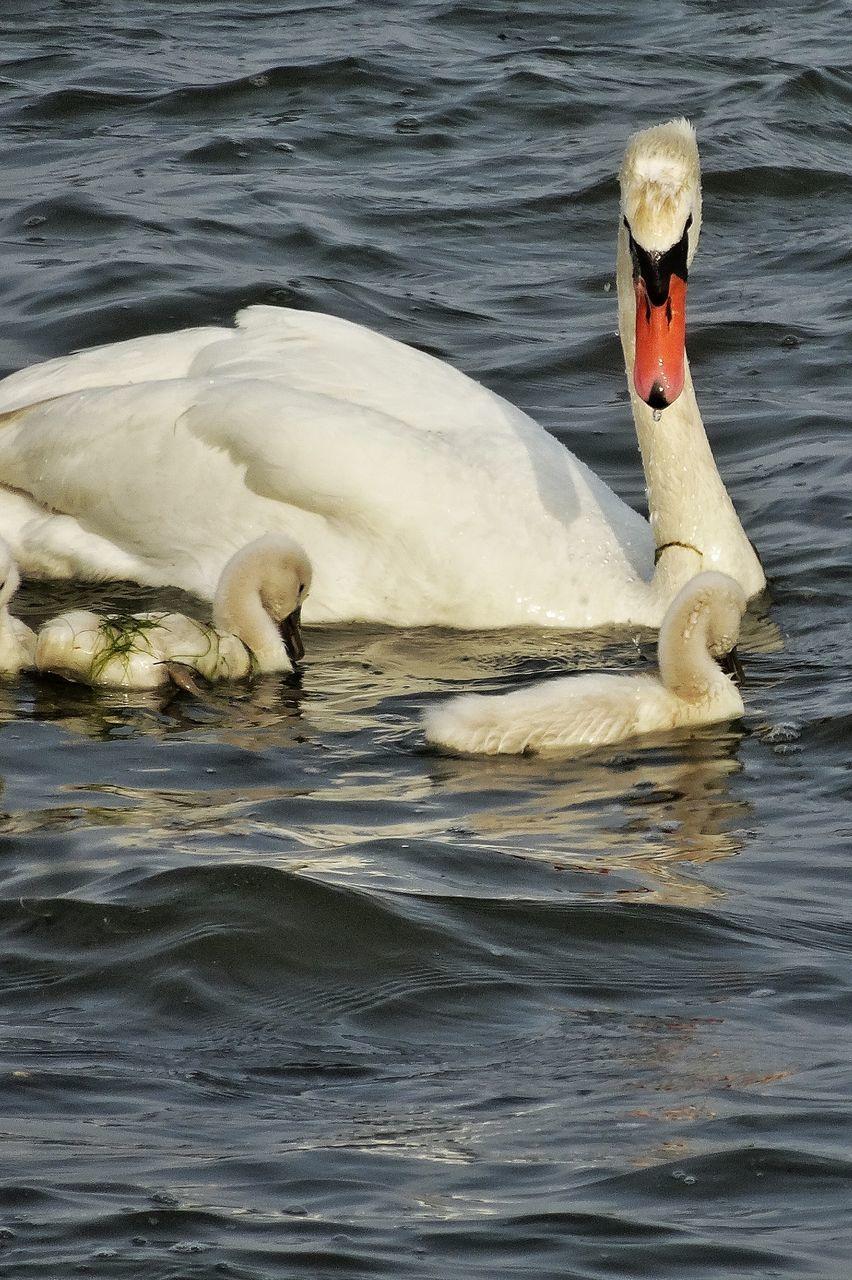 animal themes, animals in the wild, swan, bird, swimming, water, lake, animal wildlife, one animal, water bird, waterfront, floating on water, nature, beak, no people, day, outdoors