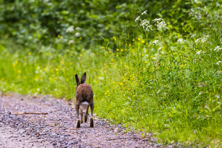 Rear view of hare running on dirt road by plants