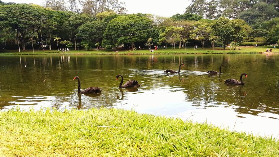 Wonderful black swan family swimming in the lake water in Ibirapuera park in São Paulo Brazil. Nature Animal Park Parque  Ibirapuera Ibirapuerapark Ibirapuera Park Sao Paulo - Brazil São Paulo Cisne Lake Swan Swimming Swimming Animal Swimming Black Swans Black Swan On Water Black Swan On A Lake Black Swans Swimming Black Swan Swan Black Brazil Brasil Swans Swans On The Lake Swans ❤ Swan Black Swan Lake Swimming The Still Life Photographer - 2018 EyeEm Awards The Great Outdoors - 2018 EyeEm Awards The Traveler - 2018 EyeEm Awards EyeEmNewHere