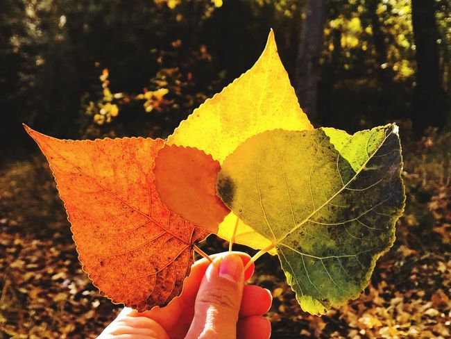 Forest Trees Poplar Fall Leaves Dry Leaf Human Hand Human Body Part One Person Unrecognizable Person Human Finger Real People Holding Autumn Lifestyles Autumn Colors Color Color Palette Variation Forest Nature Nature Personal Perspective Poplar Leaves Leaves Fall Colors