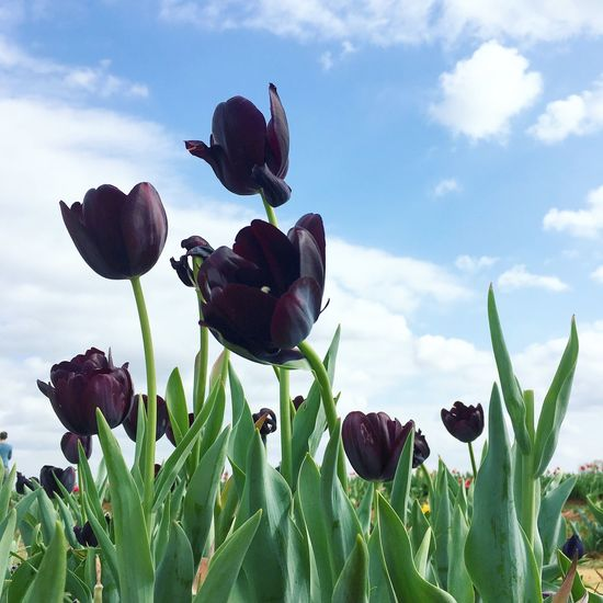 Texas Tulips Flowers Nature Tulips Tulips🌷 Tulips Flowers Blue Sky Texas Texaslife