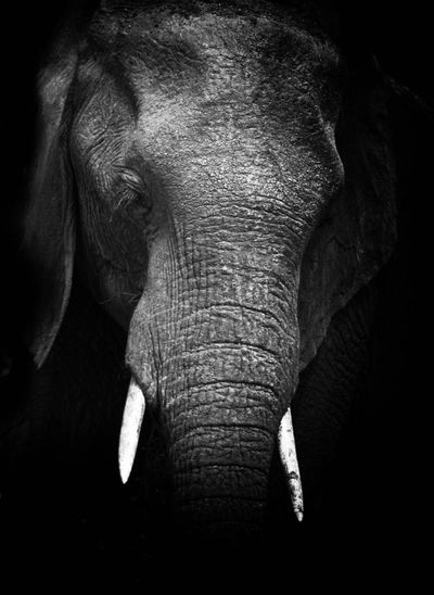 Black And White Friday Elephant Animal Body Part One Animal Animal Wildlife Animals In The Wild Mammal Animal Trunk Animal Safari Animals Animal Themes No People African Elephant Black Background Tusk Outdoors Nature Close-up Day Kruger Park South Africa