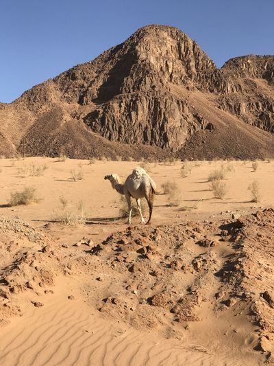 View of a camel in a desert against a hump shaped hill