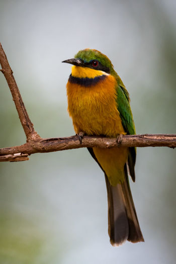 Close-up of little bee-eater perching on twig