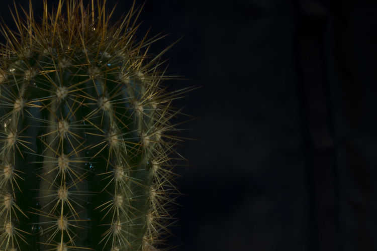 Close-up of cactus plant at night