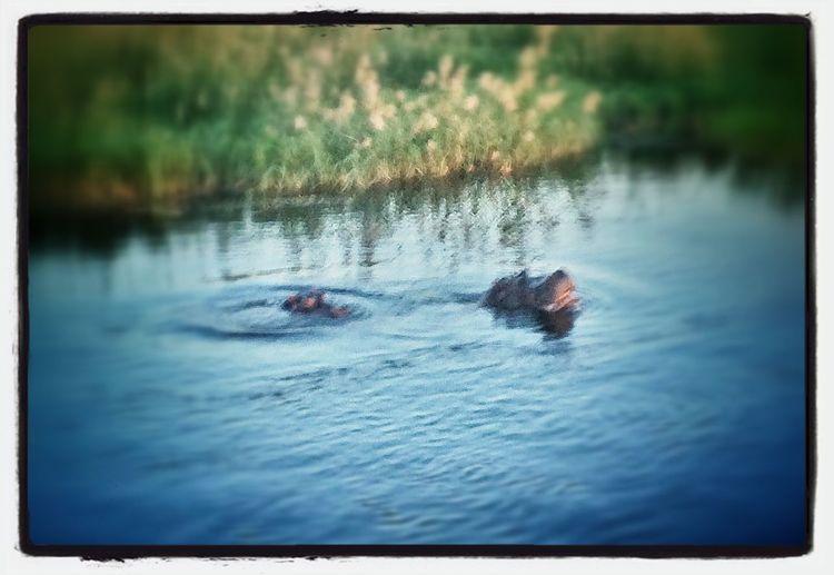 Okavango Hippo Game Drive Nambw2014