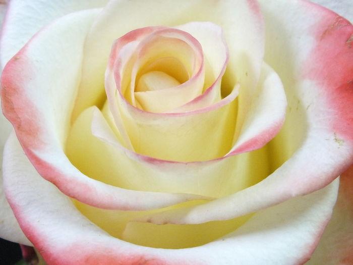 薔薇 Flower Flowers Flower Flowers Cute♡ Beautiful