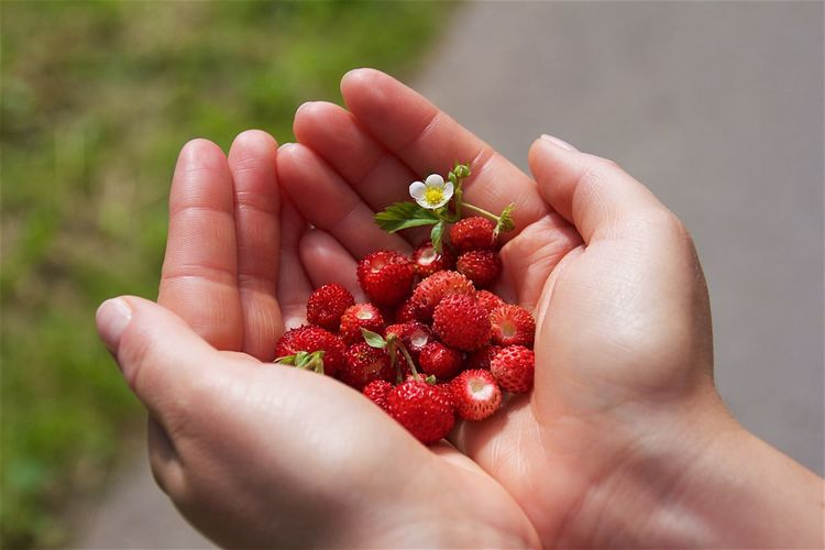 Cropped hands of woman holding fresh strawberries