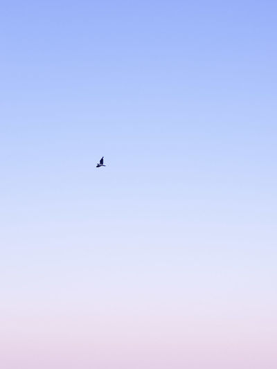 Flying Airplane Sky Clear Sky Copy Space Blue Mid-air No People One Animal Air Vehicle Outdoors Day Nature Bird Airshow Futuristic