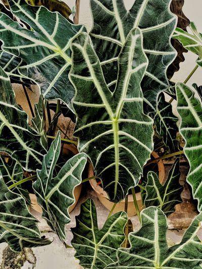 green caladium