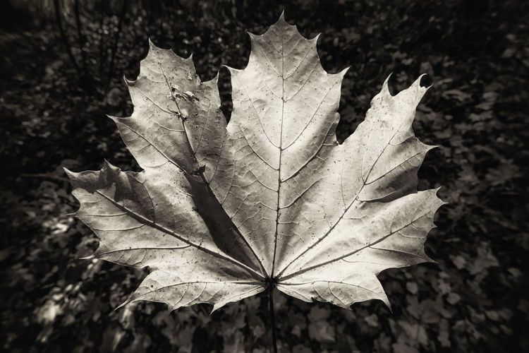 Leaf Plant Part Autumn Close-up Leaf Vein Nature Plant Dry Day Focus On Foreground Change No People Vulnerability  Fragility Maple Leaf Beauty In Nature Outdoors Natural Pattern High Angle View Leaves Natural Condition Dried