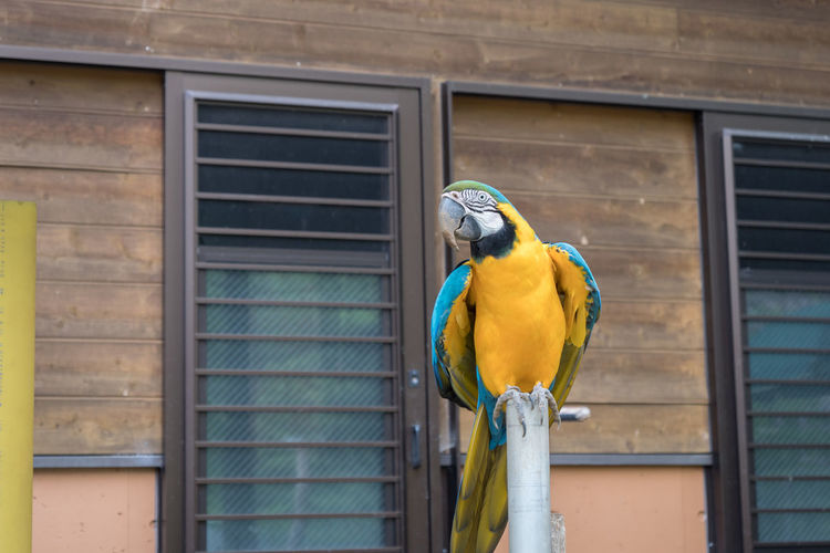 Gold and blue macaw perching on pole