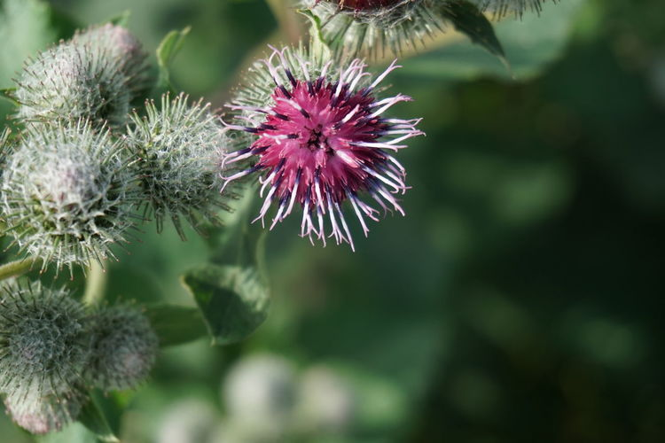 Wollkopf-Kratzdistel (Cirsium eriophorum), Wollköpfige Kratzdistel oder Mönchskrone Cirsium Eriophorum Beauty In Nature Blooming Close-up Day Flower Flower Head Focus On Foreground Fragility Freshness Growth Nature No People Outdoors Petal Plant Purple Thistle