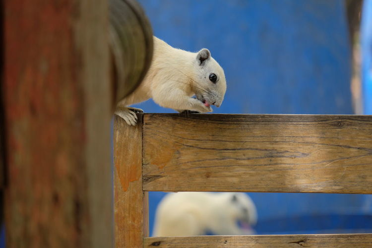 Close-up of white cat on wood