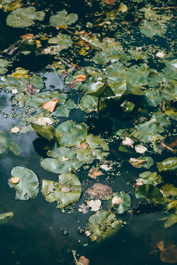 Beauty In Nature Close-up Day Floating Floating On Water Flower Flower Head Fragility Freshness Growth Leaf Lily Pad Lotus Water Lily Nature No People Outdoors Plant Pond Reflection Tranquility Water Water Lily Water Plant Waterfront