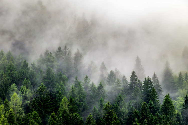 pine forest on a foggy mountain 8 No People Day Tree Beauty In Nature Nature Nature_collection Nature Photography Tranquility Tranquil Scene Fog Foggy Foggy Morning Green Evergreen Tree Forest Photography Outdoors Weather Mountain View Mountain Coniferous Tree WoodLand Pine Tree Pine Woodland Scenics - Nature