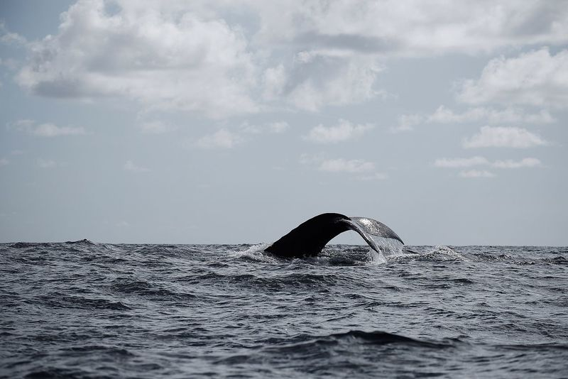 Big Mammals. Whales watching, Samaná. Whales Whale Sea Nature