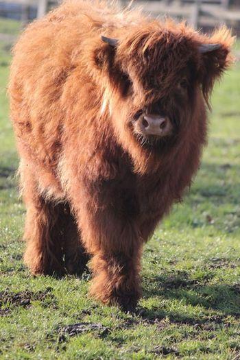 Animal Themes Animal Mammal Field Livestock One Animal Domestic Animals Cattle