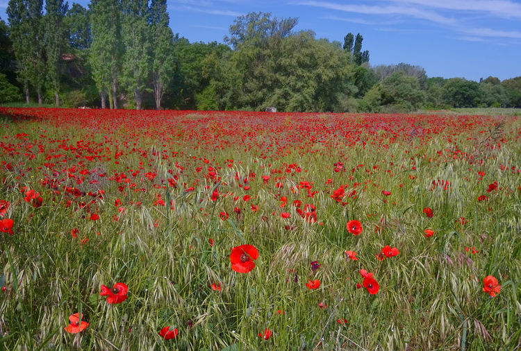 Full frame shot of red flowers blooming in field
