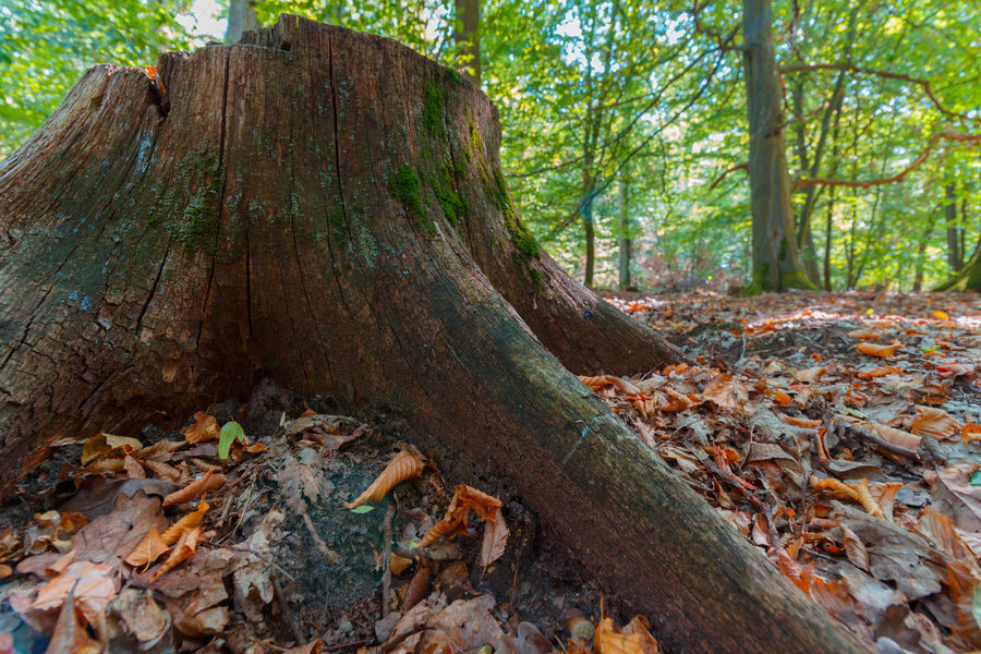Forestwalk EyeEmNewHere Autumn Bark Beauty In Nature Change Day Environment Forest Land Leaf Leaves Nature No People Non-urban Scene Outdoors Plant Plant Part Tranquil Scene Tranquility Tree Tree Trunk Trunk Wood Wood - Material WoodLand Be Brave