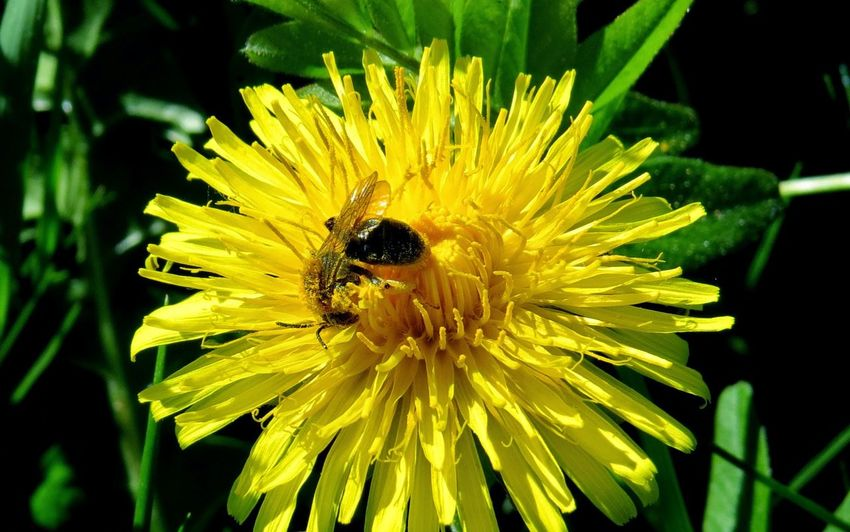 Animal Themes Animal Wildlife Animals In The Wild Beauty In Nature Bee Bee At Work Bumblebee Close-up Day Flower Flower Head Fragility Freshness Growth Honey Bee Insect Nature No People One Animal Outdoors Petal Plant Pollen Pollination Wildlife Yellow