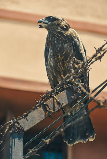 Beautiful portrait of an indian black kite bird, sitting on barbed wire of a building wall.