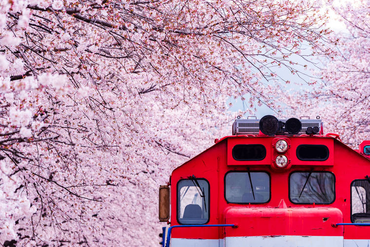 Red Train Amidst Pink Cherry Blossoms