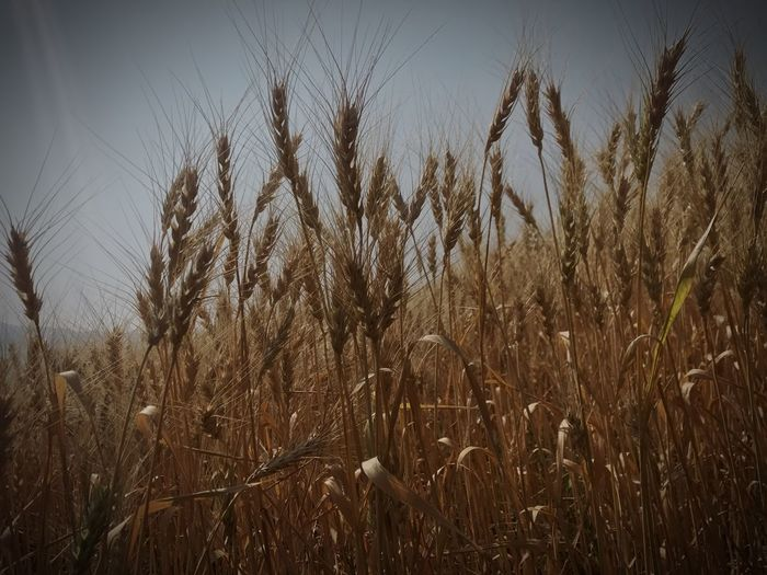 Growth Nature Beauty In Nature Tranquil Scene Cereal Plant Agriculture Outdoors Wheat Ear Of Wheat Scenics Field Sky Close-up Landscape Malshejghat Condé Nast Travel Photography Incredible India Nature Amazing Nature Amazing Places
