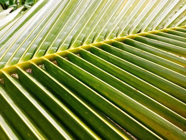ใบมะพร้าว Frond Palm Tree Backgrounds Leaf Full Frame Palm Leaf Textured  Pattern Close-up Green Color Plant Life Green Bamboo - Plant Young Plant Natural Pattern