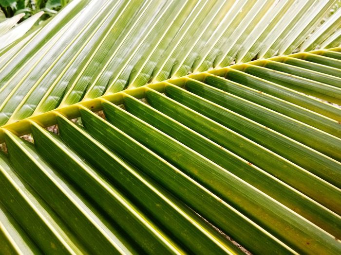 ใบมะพร้าว Frond Palm Tree Backgrounds Leaf Full Frame Palm Leaf Textured  Pattern Close-up Green Color Plant Life Green Bamboo - Plant Young Plant Natural Pattern