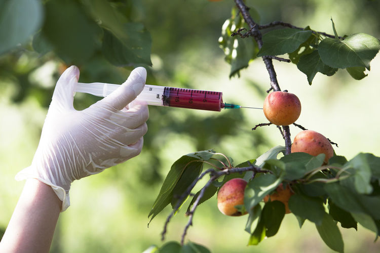 Genetically modified fruit. Non-organic fruit. Apricot GM Fruit GMO Genetically Modified Foods Injection Agriculture Agronomy Biotechnology Concept Danger Food Food Coloring Fruit Genetic Engineering Genetically Modified Organism Health Holding Human Hand Injecting Manipulation Nature Non-organic Protective Glove Safety Test