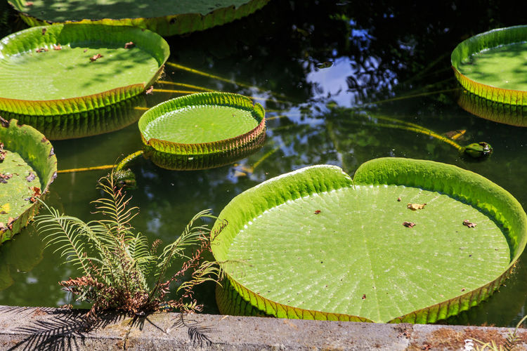 Victoria Amazonica Aquatic Plants Parque Terra Nostra Azores, S. Miguel Green Color Leaf Plant Part Plant Nature Water No People Lake Growth Floating Beauty In Nature Water Lily Floating On Water Close-up Day Freshness Outdoors High Angle View Leaves Lotus Water Lily
