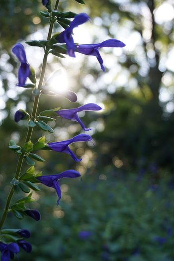 Salvia Nature Beauty In Nature Flower Lens Flare Purple Outdoors Plant Sunlight Close-up First Eyeem Photo Live For The Story The Great Outdoors - 2017 EyeEm Awards EyeEmNewHere