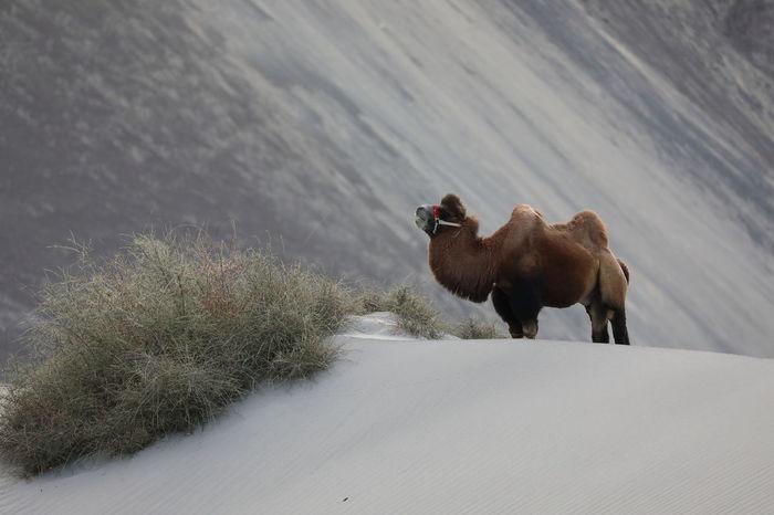 Ladakh Hunder Bactrian Camel Mammal Animal Themes Animal Domestic Animals Snow Livestock Winter