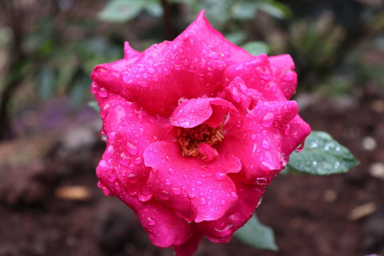 flowering plant, beauty in nature, flower, petal, vulnerability, fragility, close-up, flower head, inflorescence, freshness, plant, growth, focus on foreground, drop, water, nature, day, rose, pink color, no people, outdoors, pollen, dew, purity