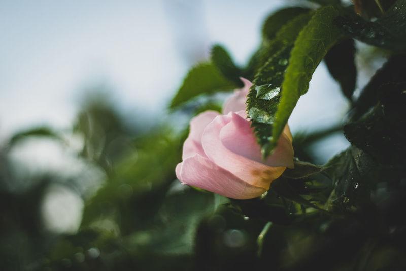 Close-up of pink rose flower bud