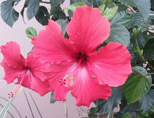 Red Hibiscus Kemah Boardwalk Android Photography Outdoor Photography Flower Head Flowers, Nature And Beauty Flowers,Plants & Garden Flower Collection
