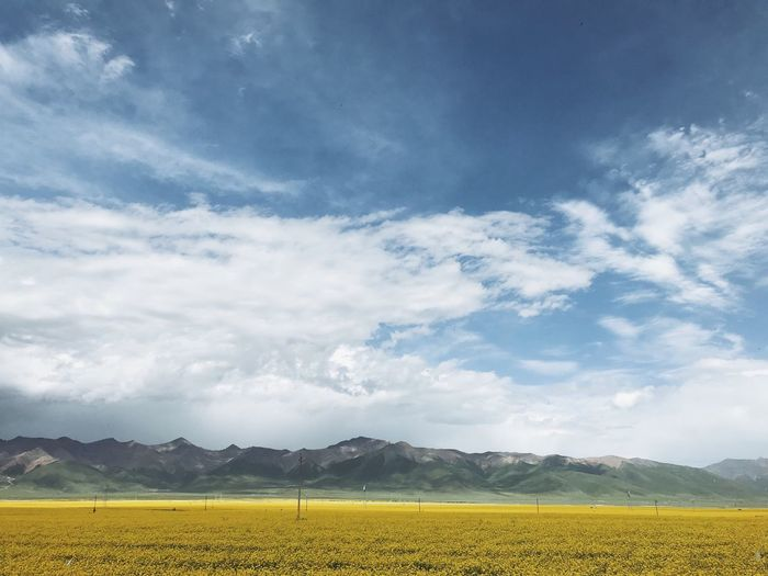 Canola flowers in Summer China Qilian Mountains Qilianmountains Qinghai Lake Qinghai Canola Canola Flowers Canola Field Cloud - Sky Sky Yellow Tranquil Scene Environment Beauty In Nature Landscape