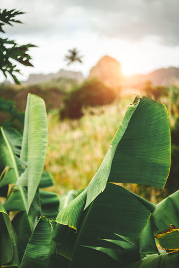 Hipnotising sunset behind mountain range. Bananaleavs and sugarcane in the foreground. Santo Antao Cape Verde. Cape Verde Sunlight Beauty In Nature Close-up Cloud - Sky Day Environment Field Focus On Foreground Green Color Growth Land Landscape Leaf Leaves Nature No People Outdoors Plant Plant Part Sky Sunbeam Sunlight Sunset Tranquility