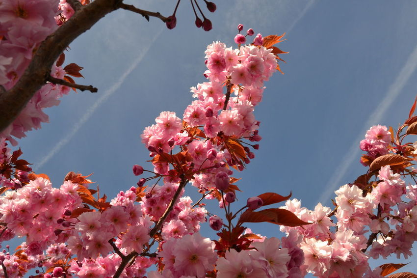 Glorious Pink Flower Blossom and Blue Sky Beauty In Nature Blossom Branch Close-up Flower Flower Head Flowering Cherry Fragility Freshness Growth Nature No People Petal Pink Cherry Blossoms Pink Color Sky Sky Trail Tree
