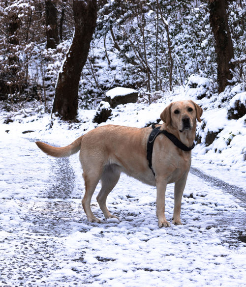 Mela Dogs Labrador MR7 Melancholic Landscapes Animal Themes Beauty In Nature Canon Cold Temperature Day Dog Domestic Animals Eos77D Friend Full Length Mammal Nature No People One Animal Outdoors Pets Snow Standing Tree Weather Winter