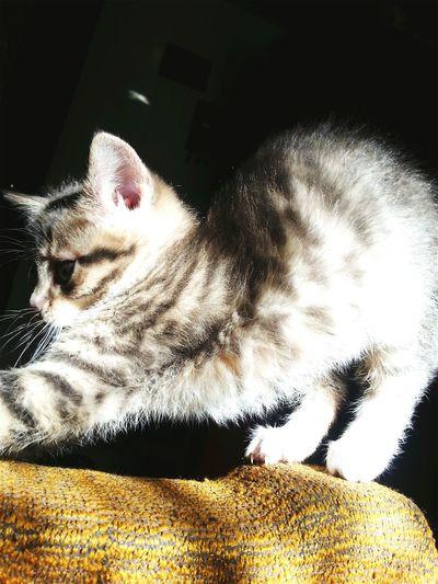 Pets Corner Kitten Cute Cat