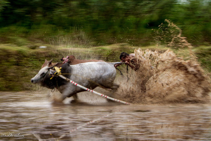 Pacu Jawi | Cow Race Showcase April Culture And Tradition Westsumatera Wonderful Indonesia Panning