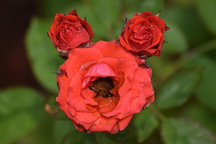 Three Roses -