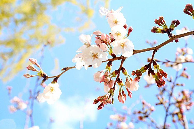 @太刀洗公園 (Tachiarai Park) Beauty In Nature Flower Blossom Springtime Tree Sky Nature Growth No People Outdoors Blooming Day Japan Tree Cherry Blossoms Beautiful Beauty In Nature PLZ FOLLOW ME Japanese