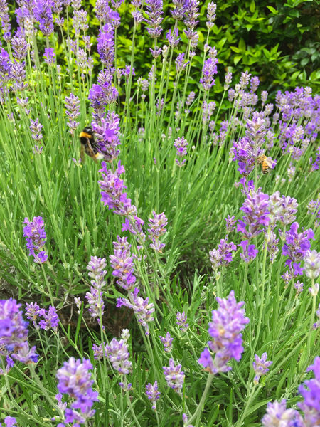 Two bees spotted in a bed of flowering lavender. Field Beauty In Nature Bee Day Flower Garden Lavender Nature Outdoors Plant Purple Spring Summer