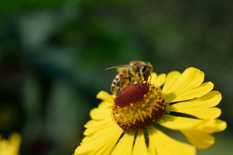 Biene Flower